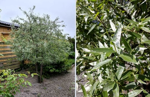 Silverpäron är ett litet träd med silvrig lyster, som påminner om olivträdet.