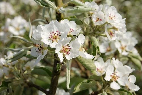 Även silverpäron får ett vackert blomflor i maj. Deras små päron är dock oätliga, men nog så dekorativa.