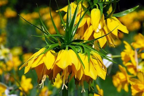 Kejsarkrona 'Lutea' har gula blommor och sticker verkligen ut som ett utropstecken i vilken vårrabatt som helst!