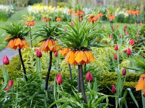Kejsarkronor, Fritillaria imperialis, reser sig ståtligt över andra blomsterlökar i rabatten.