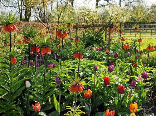 Ståtliga 'Rubra Maxima' som är den högsta röda kejsarkronar i en rabatt med lila och orange tulpaner.