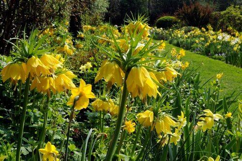 Sorten 'Maxima Lutea' är en gul kejsarkrona med mycket långa stjälkar. Den ger nivåer åt en gul- och vitblommande vårrabatt.