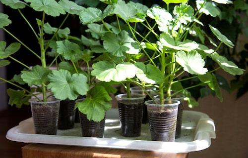 Dags att plantera om pelargonsticklingarna. Beskär för buskigare plantor.
