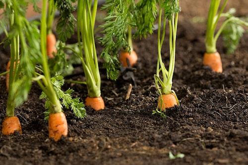 Morötter är lättskötta – håll ogräsfritt, vattna vid behov och kupa om de börjar sticka upp som på bilden.