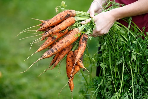 Skörda morötter efterhand som de mognar och förvara sena sorter i torv frostfritt och svalt.