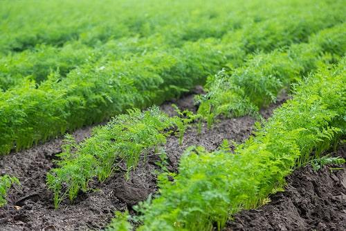 Morötter trivs i sol och lucker varm jord. De kan odlas i rader eller samplanteras med andra grönsaker.