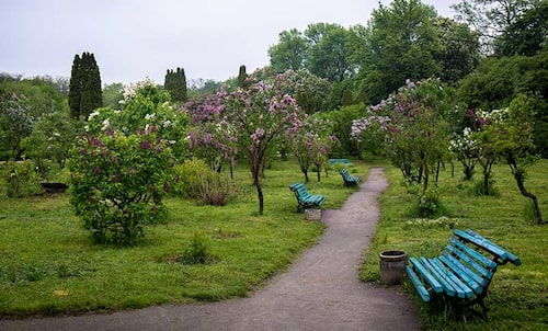 I den här parken har de valt att stamma upp syrenerna till små träd istället för att föryngra dem. Det går att göra med flerstammig syrener med.