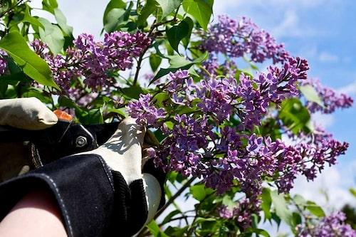 Klipp syrener till buketter. Det går bra att klippa bort blomställningen så fort de blommat över.