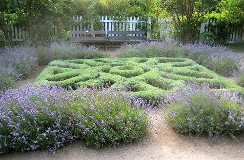 Knutträdgård gjord av lavendel, både formklippt och friväxande.