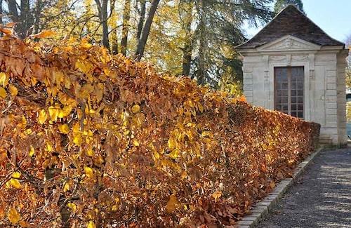 Avenbokshäckar får vacker bronsfärg på hösten och bladen sitter kvar under vintern.