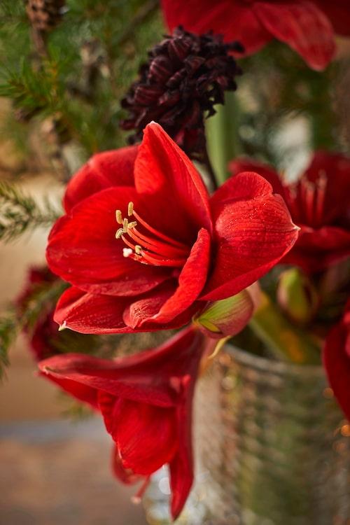 Mörkt röda amaryllis blir julens vackraste buketter.