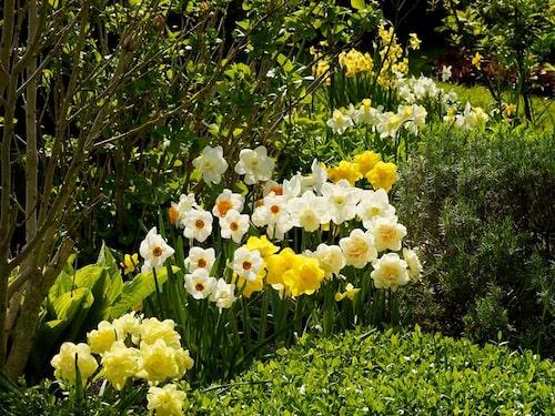 Plantera gärna flera olika sorters narcisser i grupp bredvid varandra och bryt av med formklippta buskar. Det blir en härlig masseffekt i rabatten!