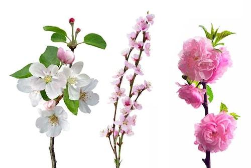 Äpple och två olika prydnadskörsbär – det finns många vackra träd med vårblommor att driva i blom.