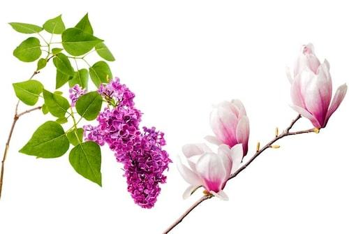 Syren och magnolia är två primadonnor och svårare att driva i blom, men väl värt att försöka.