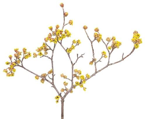 Körsbärskornell är en vanlig buske och träd offentliga planteringar. De små gula blommorna kommer till sin rätt på en liten kvist i vas.