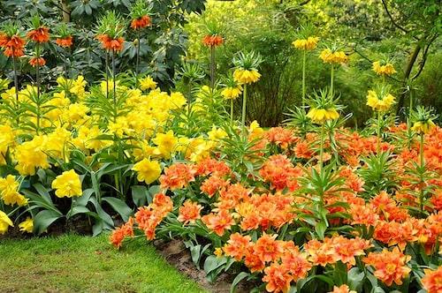 Kejsarkronor, som ingår i Fritillariasläktet ihop med kungsängsliljor, kan mixas med tulpaner, så att dessa kanske får vara ifred.