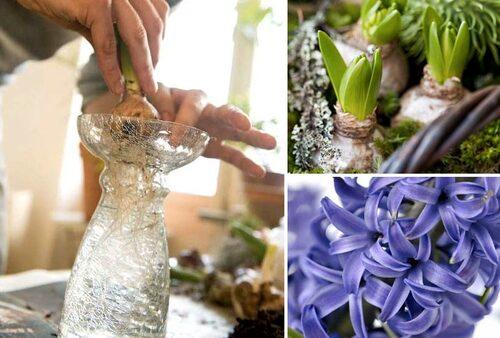 Det finns speciella lökvaser för att driva hyacinter.