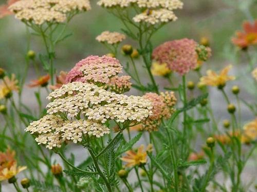 'Lachsschönheit' tillhör Glaxy-Gruppen som alla har stora färgvariationer på samma planta.
