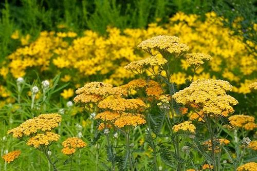 Röllekor är tåligare än de flesta perenner i full sol och väldränerad lätt och näringsfattig jord.