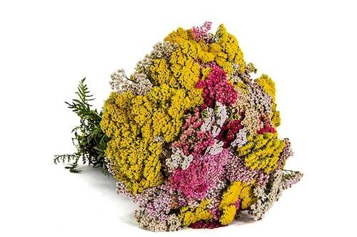 Använd röllikor i buketter. De står länge som snittblommor och är bra att kombinera ihop med andra blommor.