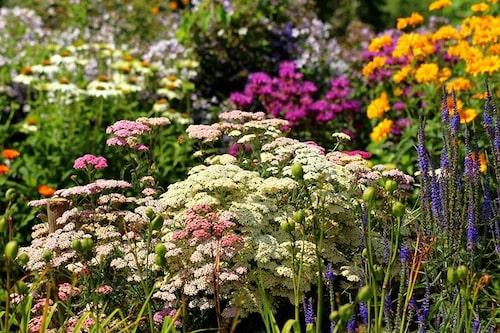 Röllikors flata blomflockar passar fint att kombinera med andra perenner. Diskar kontrasterar mot ax och storblommande primadonnor som rosor.