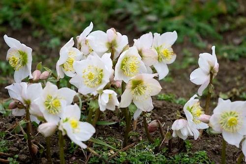 Helleborus niger, den vanliga vita julrosen, är den härdigaste i julrossläktet.