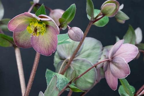 Daggjulros Helleborus atrorubens är ovanliga i handeln, men så fina med sina daggiga färger.
