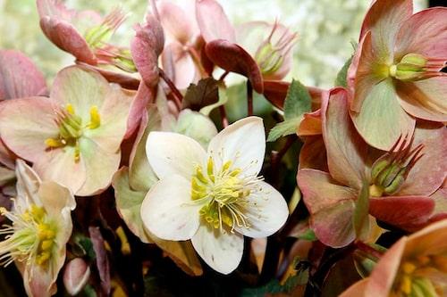 Föränderlig julros Helleborus x ericsmithii producerar stora vita blommor som går över till mörkt rosagrönt.