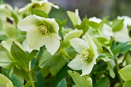 Rikblommande julros Helleborus x nigercors, får som namnet skvallrar om många blommor. Här är sorten 'Green Corsican'.