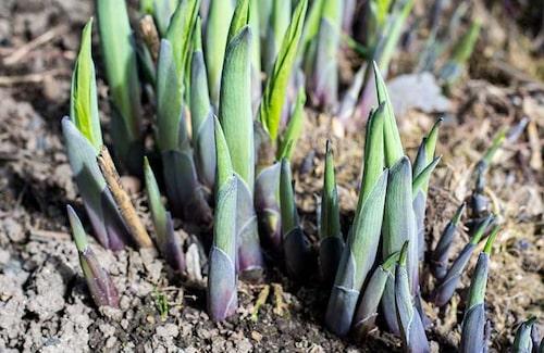 Alla funkior är ätliga. Man skördar bara de unga skotten tidigt på våren.