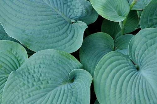 Funkior är mångsidiga med sina stora vackra blad. De är formstarka och går därför att använda både som kantväxter och som solitärer i kruka.