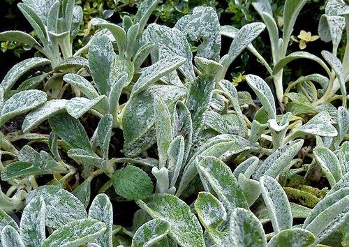 Amerikansk bergmynta har ludna blad med svag pepparmintsmak, som passar fint ihop med andra örter i te.