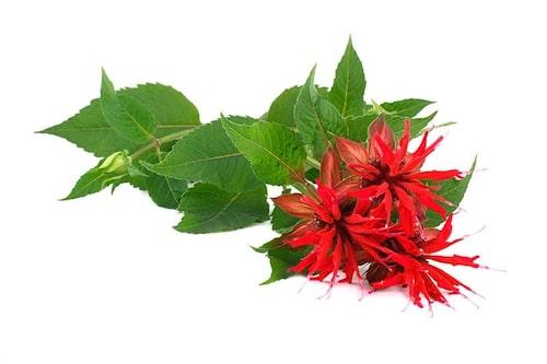 Det hörs på namnet vad temynta används till. En mycket dekorativ perenn.