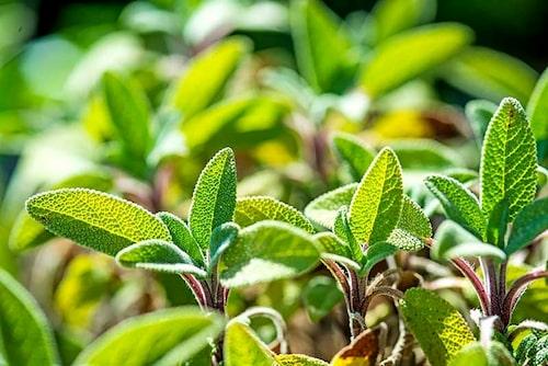 Kryddsalvia används inte enbart som krydda i maten – den blir ett gott och välgörande örtte.