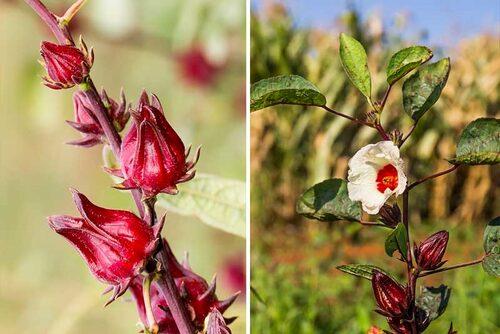 Rosellhibiskus måste odlas i växthus, men är är både vacker och smakrik i örtte.