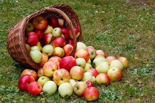 Äppelsorter med färre allergener