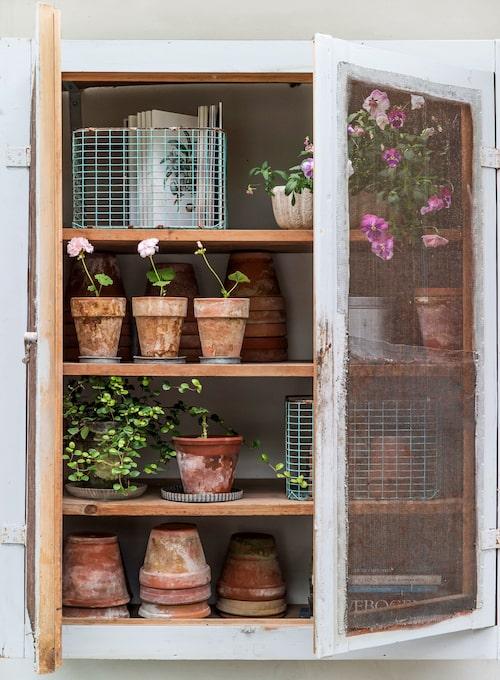 Ett gammalt köksöverskåp hänger numera på väggen i orangeriet, och rymmer krukor för omplantering. Liknande skåp går att bygga själv av gamla fönsterpar.