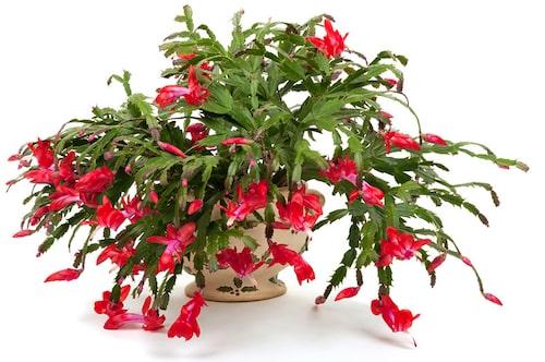 När novemberkaktusen, trivs blommar den överdådigt. Ibland två gånger på en säsong!