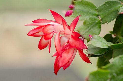 En novemberkaktus är känslig för ljusvinklar och kan tappa blomknoppar om du vrider på krukan!