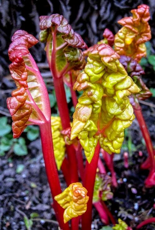 Gulbleka blad på glasrabarber när klorofyll inte kan bildas.