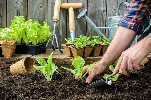 Utplantering av frösådder görs efter utskolning och när det är frostfritt ute.