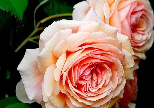 Austinrosen 'A Shropshire Lad' är en av David Austens mest kända rosor.