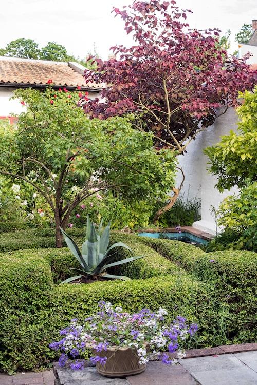 Den ståtliga buxbomsparterren är ett verk av förra ägaren. Mitt i tronar ett rosenträd, sorten 'Maigold', och en agave. Invid dammen till höger ett judasträd.