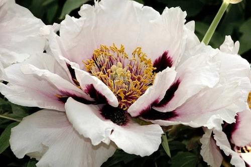 'Cora Louise' är en pålitlig Itoh-pion med halvdubbla vita blommor, i mitten purpurfärgade fläckar, som ger en vacker kontrast.