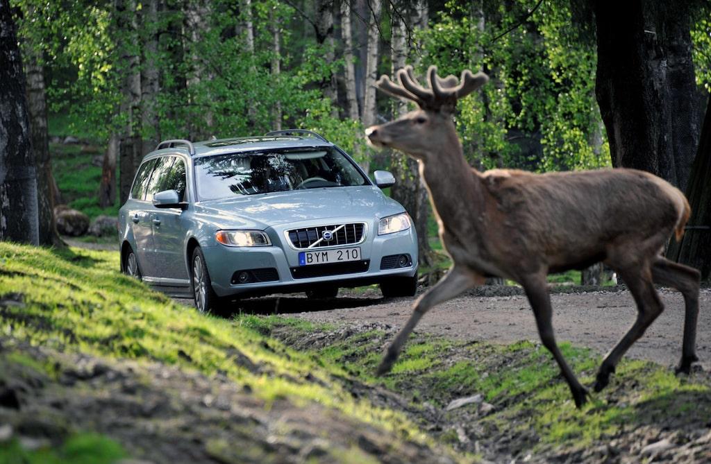 Hjort och rådjur ligger bakom de flesta viltolyckorna.