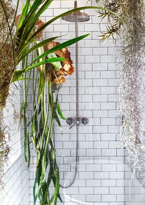 Här är Älghornsbräken, spansk mossa, Tillandsia ionantha 'Fuego' i badrummet.