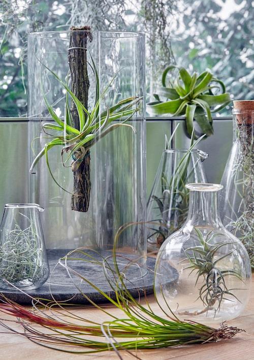 Denna dekorativa samling luftplantor bildar en levande utställning med vackert varierade former, texturer och nyanser. Tillandsia xerographica, Tillandsia argentea, Tillandsia ionantha 'Fuego', spansk mossa.