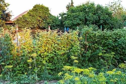 Hallonbuskar behöver beskäras för att ge bättre skörd.