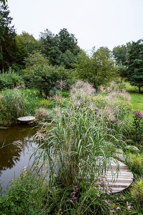 Dammträdgården med rosenflockel, glansmiskantus, palmstarr, präriesolros och nickpimpinell 'Lilac Squirrel'.