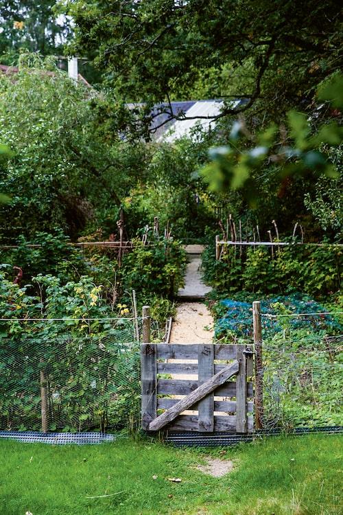 Köksträdgård inramad av hallonhäck.